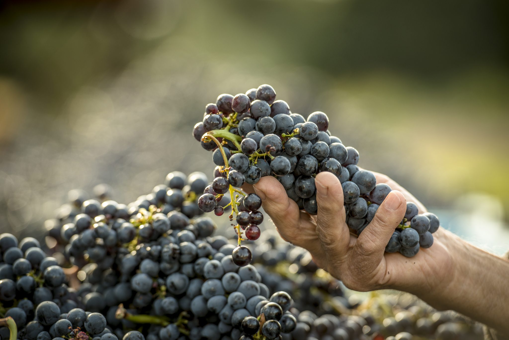 Male hand holding freshly hand picked grapes